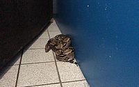 A jiboia encontrada no apartamento