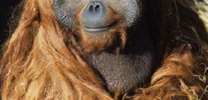 Orangotangos recebem 1ª vacina contra covid feita para animais, nos EUA