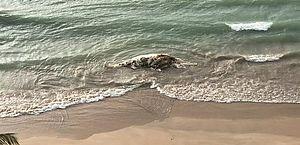 Baleia é encontrada em decomposição na praia de Boa Viagem