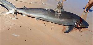 Tubarão ameaçado de extinção é morto em praia de Coruripe enquanto banhistas filmam