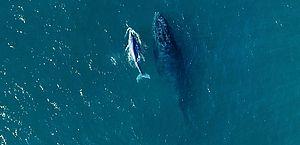 Começou a temporada de baleias no litoral brasileiro