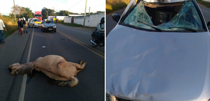BPRv registra mais um atropelamento de cavalo em rodovia, em Alagoas