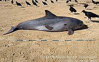 Óleo não foi causa da morte de golfinho encontrado no Litoral Sul de Alagoas, diz IMA