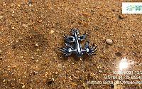 'Dragões azuis' aparecem em grande quantidade em praia de Maceió; veja vídeos