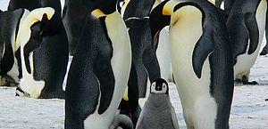 O pinguim-imperador é um exemplo de animal que, de acordo com os pesquisadores, enfrentará grandes dificuldades para sobreviver em uma Antártica mais quente.