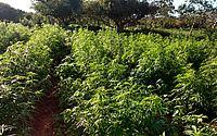 Plantação com 50 mil pés de maconha é descoberta na Bahia