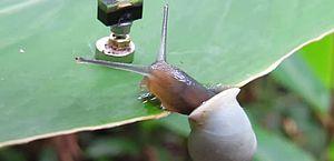 Cientistas transformam caracóis em 'ciborgues' para observação da vida selvagem