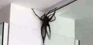 'Invasão' de aranhas gigantes assusta moradores em bairro nobre de BH
