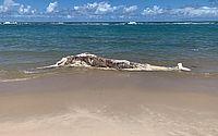 Baleia em estado avançado de decomposição encalha na praia da Barra de São Miguel