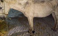Cavalo é encontrado com tornozeleira eletrônica no CE; criminoso é identificado