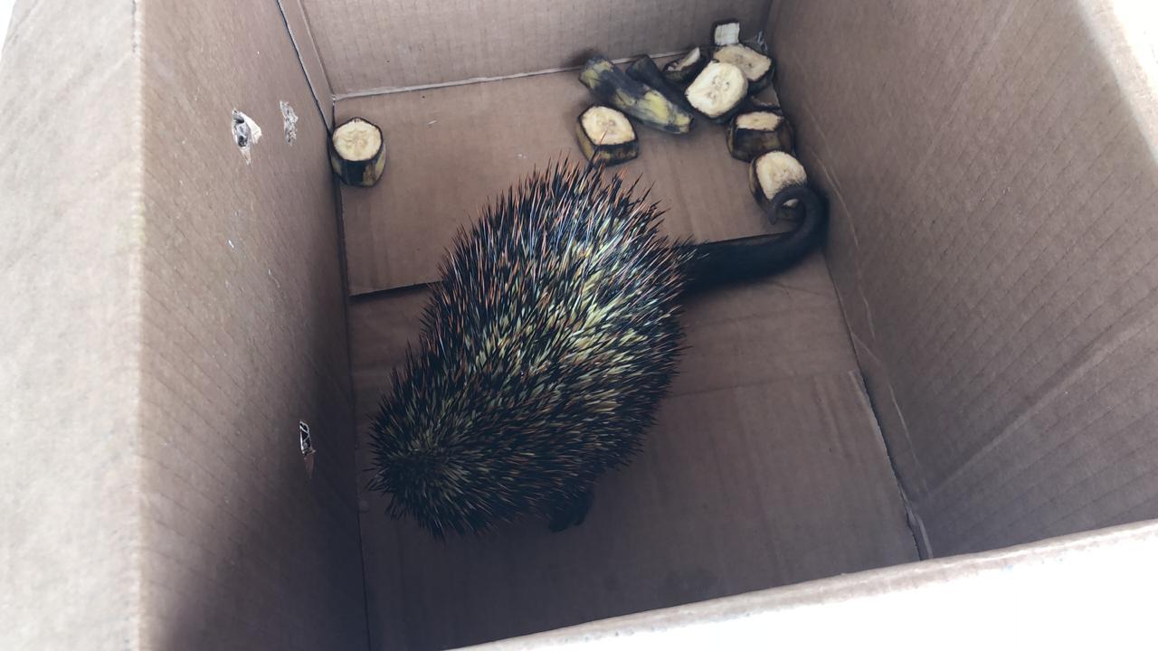 Animais resgatados em rodovia de Maceió eram quandus e não porcos-espinhos; assista