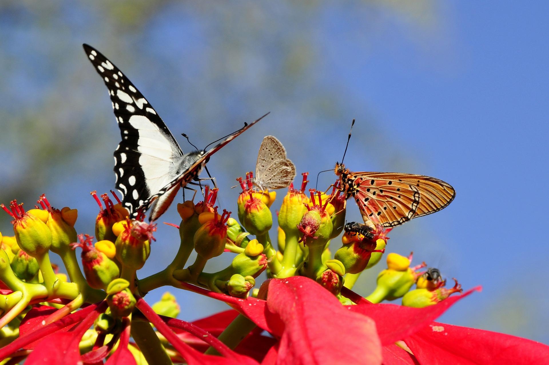 Aumento de borboletas chama atenção na região metropolitana de Maceió e IMA esclarece dúvidas